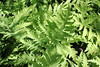 Sensitive fern - Onoclea sensibilis (ONSE)