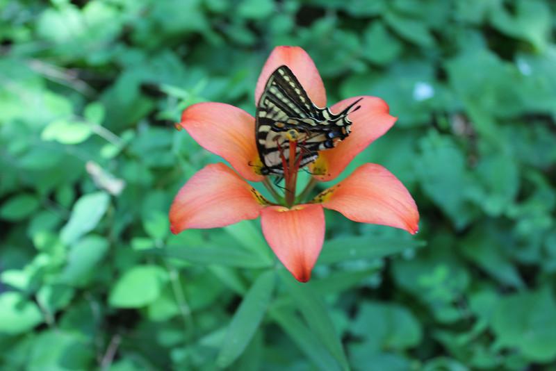 Wood lily - Lilium philadelphicum (LIPH)