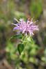 Wild bergamot - Monarda fistulosa (MOFI)