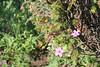 Sticky purple geranium - Geranium viscosissimum (GEVI2)
