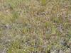 Yellow owl's-clover - Orthocarpus luteus (ORLU2)