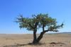 Bur oak - Quercus macrocarpa (QUMA2)