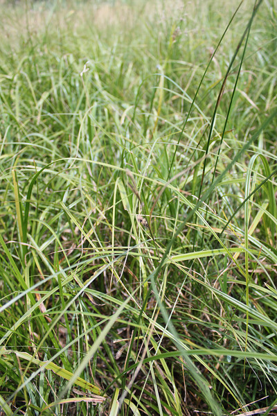 Carex sp.
