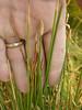 Common spikerush - Eleocharis palustris (ELPA3)