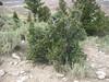 Alderleaf mountain mahogany - Cercocarpus montanus var. montanus (CEMOM4)