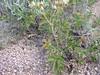 Bigflower cinquefoil - Potentilla fissa (POFI3)