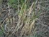 Sixweeks fescue - Vulpia octoflora (VUOC)