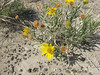 Badlands mule-ears - Scabrethia scabra ssp. scabra (SCSCS5)