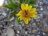 Basindaisy - Platyschkuhria integrifolia var. integrifolia (PLINI)