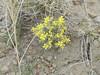 Alpine bladderpod - Lesquerella alpina var. alpina (LEALA5)