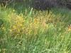 Bolander's mule-ears - Agnorhiza bolanderi (AGBO4)