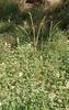 California fairypoppy - Meconella californica (MECA)