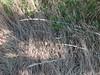 California melicgrass - Melica californica (MECA2)