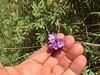 bluedicks - Dichelostemma capitatum subsp. capitatum (DICAC5)