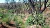 California figwort - Scrophularia californica (SCCA2)