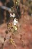 Sticky western rosinweed - Calycadenia multiglandulosa (CAMU3)