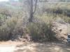 chamise - Adenostoma fasciculatum (ADFA)
