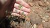 threadstem pincushionplant - Navarretia filicaulis (NAFI)