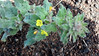 Santa Cruz Island suncup - Camissonia hirtella (CAHI13)