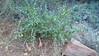 Lemmon's ceanothus - Ceanothus lemmonii (CELE)