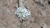 bluehead gilia - Gilia capitata (GICA5)