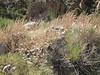 Fringed amaranth - Amaranthus fimbriatus (AMFI)