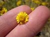 fiveneedle pricklyleaf - Thymophylla pentachaeta var. belenidium (THPEB)