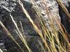 Desert needlegrass - Achnatherum speciosum (ACSP12)