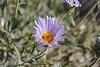 Mojave woodyaster - Xylorhiza tortifolia var. tortifolia (XYTOT)