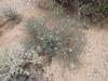 Slender poreleaf - Porophyllum gracile (POGR5)