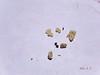Desert globemallow - Sphaeralcea ambigua (SPAM2)