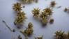 Burrobush - Ambrosia dumosa (AMDU2)