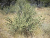 Antelope bitterbrush - Purshia tridentata (PUTR2)