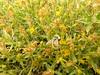 singlehead goldenbush - Ericameria suffruticosa (ERSU13)