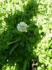 American bistort - Polygonum bistortoides (POBI6)