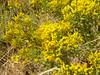 yellow rabbitbrush - Chrysothamnus viscidiflorus var. viscidiflorus (CHVIV4)