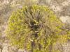 yellow rabbitbrush - Chrysothamnus viscidiflorus subsp. puberulus (CHVIP4)