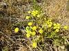 cous biscuitroot - Lomatium cous (LOCO4)