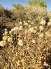 aspen fleabane - Erigeron speciosus var. speciosus  (ERSPS)