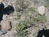 Barestem biscuitroot - Lomatium nudicaule (LONU2)