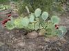 Cactus apple - Opuntia engelmannii (OPEN3)