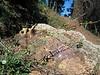 Beardlip penstemon - Penstemon barbatus (PEBA2)