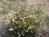Brownfoot - Acourtia wrightii (ACWR5)