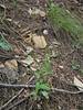 Arizona fleabane - Erigeron arizonicus (ERAR4)