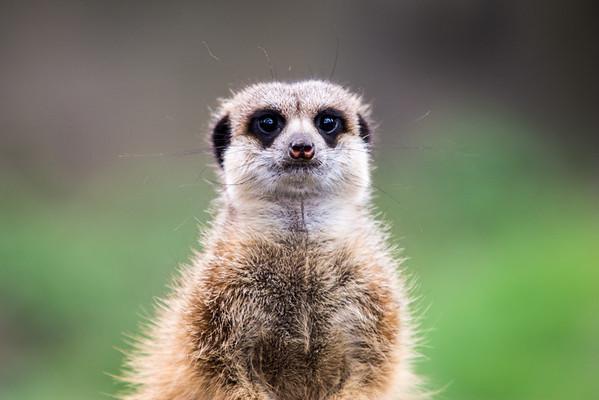 Meerkat at Burgers' Zoo