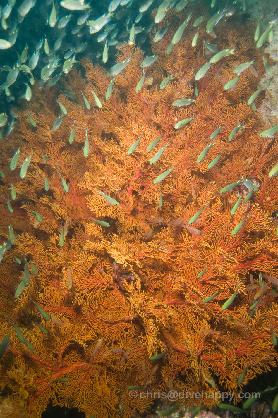 Fan Corals - Diving Burma