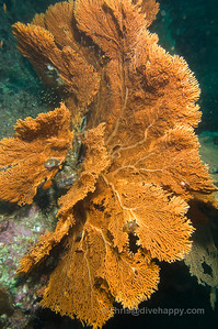 Fan Corals, Fan Forest Pinnacle, Burma