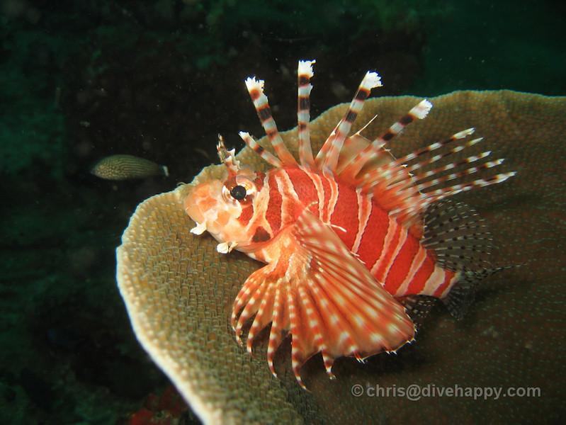Lionfish, Western Rocky,  Burma