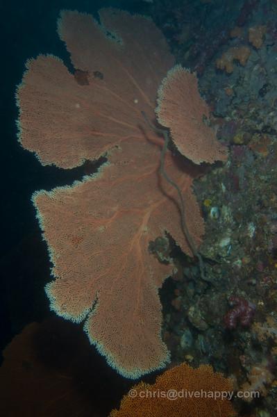 Fan Corals -Diving Burma