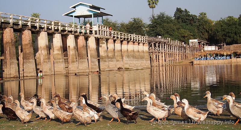 A gaggle of geese come ashore at Amarapura's U Bein Bridge